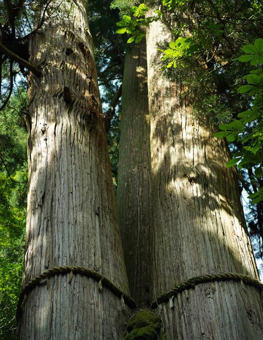 花背の三本杉